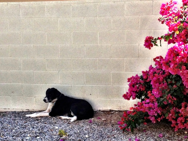 An Alaska sled dog named Bear in Yuma, Arizona